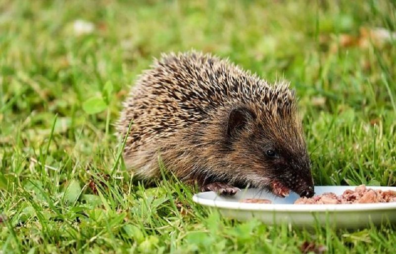 Why is Milk and Other Dairy Products Not Good for Hedgehogs?