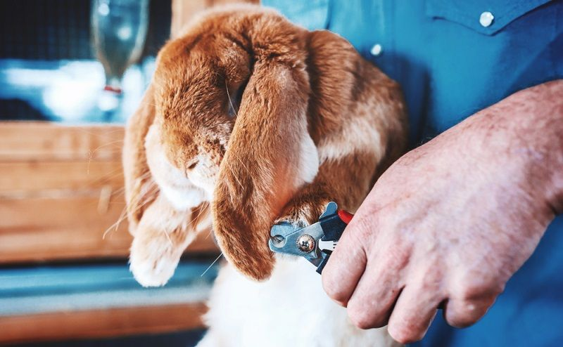 how to clip rabbits nails