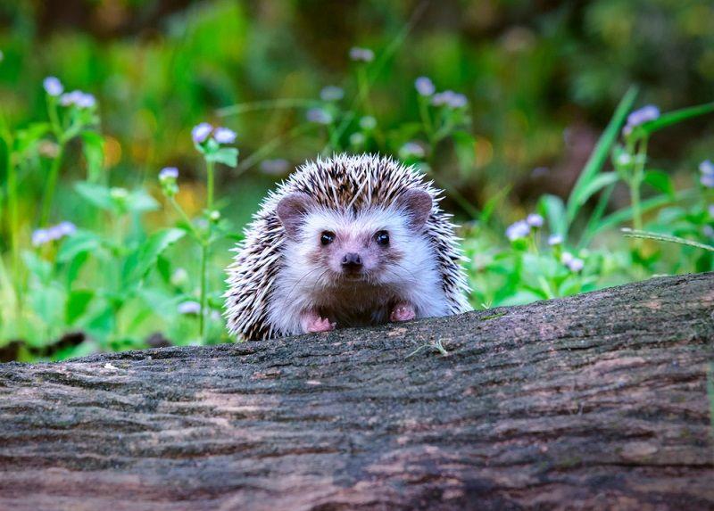 how long do pet hedgehogs live
